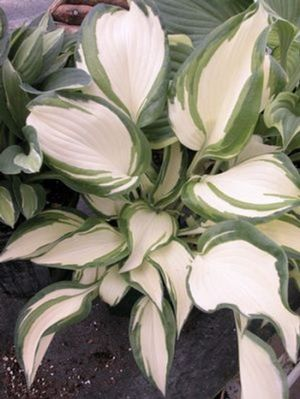 Hosta 'Dancing in the Rain'