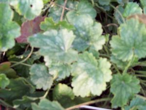 Heuchera 'Bressingham Mix'