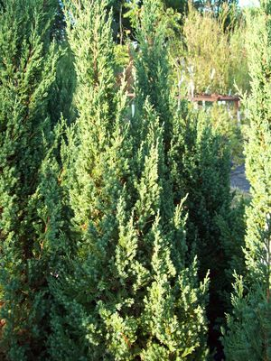 Juniperus chinensis Blue Point | Worley's Greenhouse