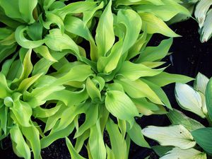 Hosta 'Sunpower'