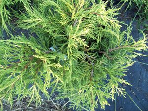 Juniperus chinensis 'Saybrook Gold'