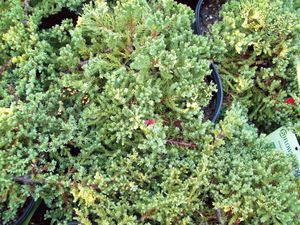 Juniperus procumbens 'Greenmound'