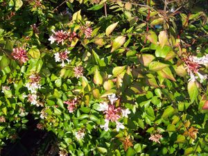 Abelia grandiflora 'Canyon Creek'