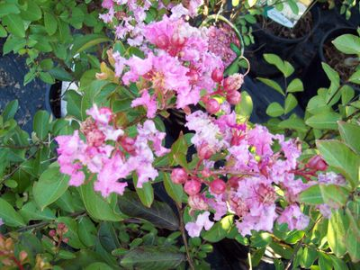 Lagerstroemia indica 'Pink Ruffles'