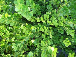 Buxus microphylla koreana 'Wintergreen'