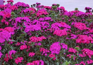 Dianthus barbatus 'Amazon Neon Duo'