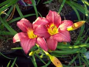 Hemerocallis daylilly 'Pardon Me'