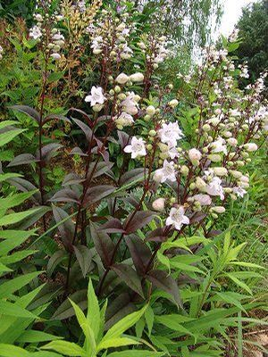 Penstemon Digitalis ''
