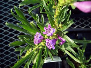 Penstemon Hybrida ''